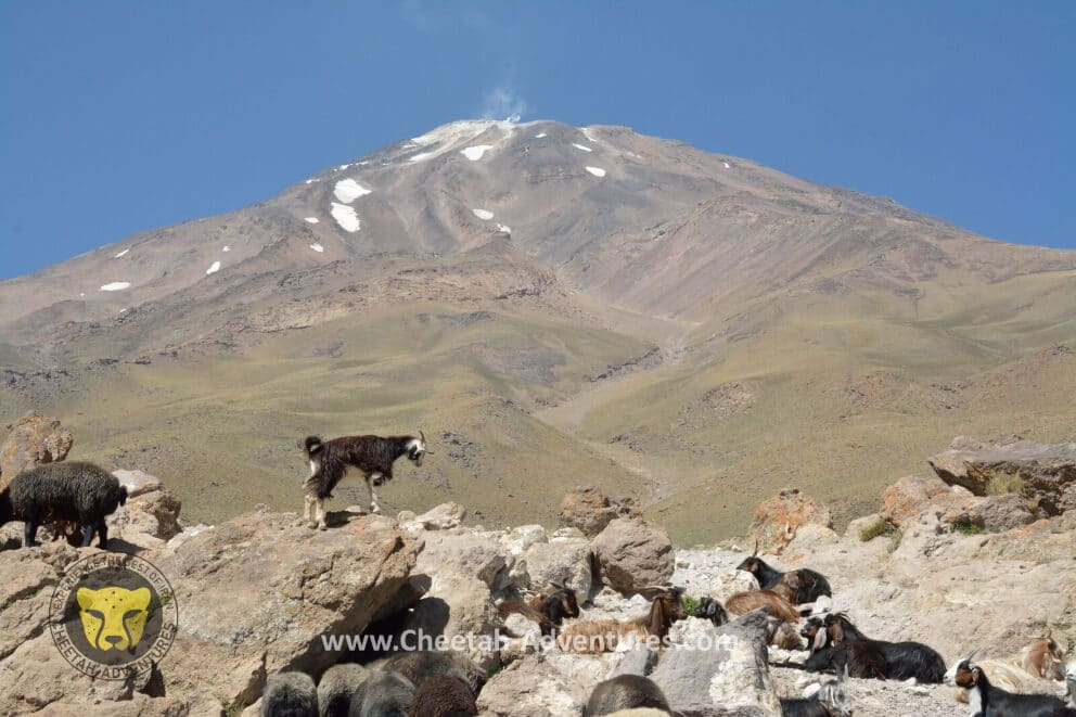 2-Goats and Sheeps in Goosfandsara (3000m), Damavand South BC