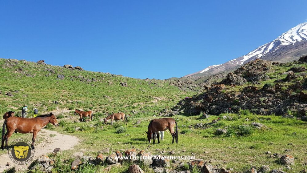 2-Horses and Mules around Goosfandsara basecamp, Damavand south face