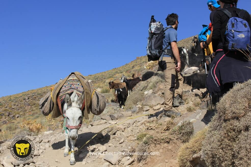 3-Mules are carrying luggages to the Hut, Damavand South route
