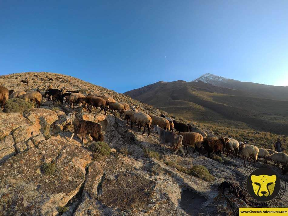 14 Sheeps and goats at 3300m, Damavand North Eastern Route