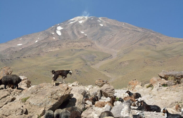 Mount Damavand mountain tour Damavand facts information Goats and Sheeps in Goosfandsara (3000m), Damavand South BC